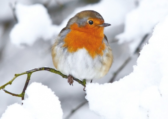 'Robin in the snow' Christmas card